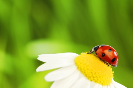 big red ladybug on camomile grass background photo