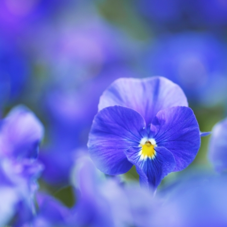 Beautiful blue violets in garden close-up photo