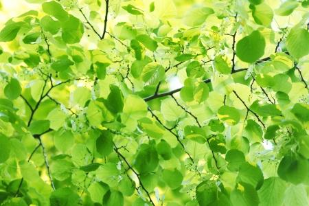Piękne liście lipy zbliżenie w słoneczny dzień photo