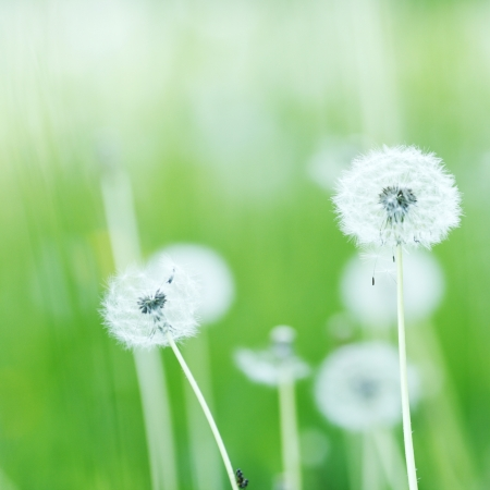Beautiful white dandelion flowers close-up photo