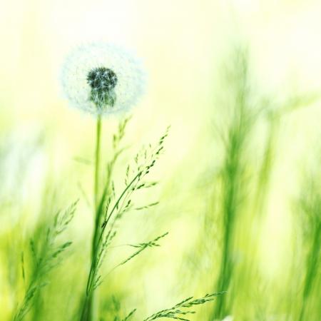 Piękny biały kwiat makro mniszek photo
