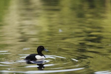 Mężczyzna czernica kaczka w jeziorze photo
