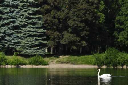 Beautiful white swan swimming in lake photo
