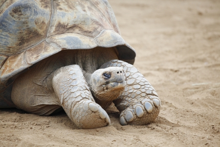echse: Close-up portrait of a big Seychelles turtle on sand Stock Photo