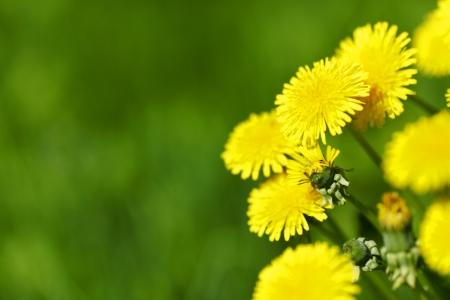 Hermosas flores de diente de le�n amarillo de cerca Foto de archivo - 21171896