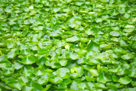 carpel: Yellow water lily beautiful background