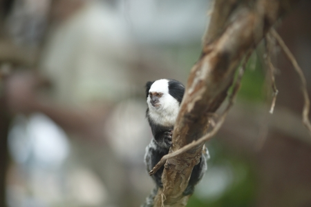marmoset: Close-up portrait of White-headed Marmoset sitting in a tree