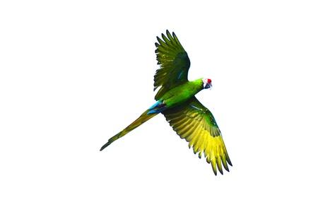 loros verdes: Flying loro verde aislado en el fondo blanco Foto de archivo