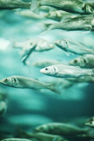 salmon migration: Many mackerel fish, underwater view