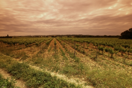 orange industry: Orange Sky over Green Vineyard