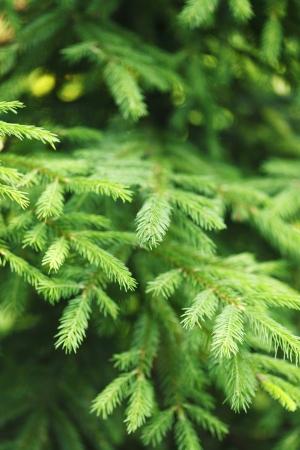 Fir tree branch macro close-up photo