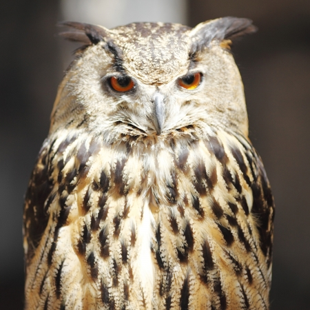 Long-eared owl, close-up portrait photo