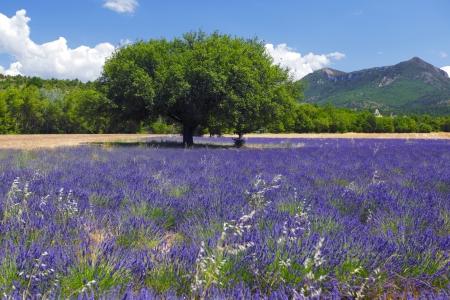 lavande: beautiful image of lavender field Stock Photo