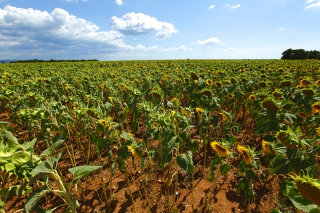 dry sunflower field photo