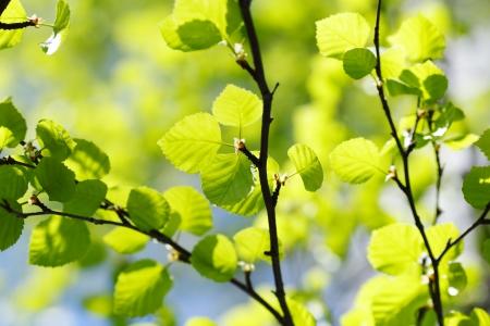 tilo: Hermosas hojas de tilo de cerca en un día soleado