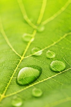 wet leaf: Water drops on green fresh leaf macro