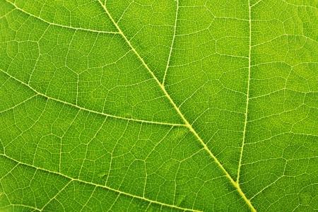 close up: Fresh green leaf texture macro close-up