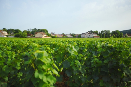 View of the vineyards in Gevrey Chambertin, France photo