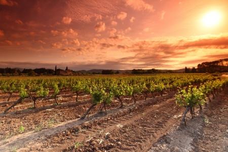 grape field: Orange Sky over Green Vineyard