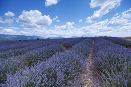 beautiful image of lavender field photo