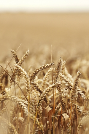 wheat close up on farm field