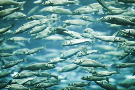 greenling: Many mackerel fish, underwater view