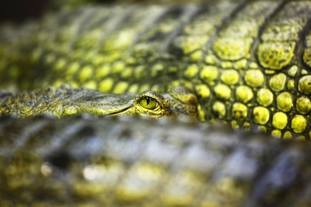 alligator eyes: gavial crocodile close up macro Stock Photo