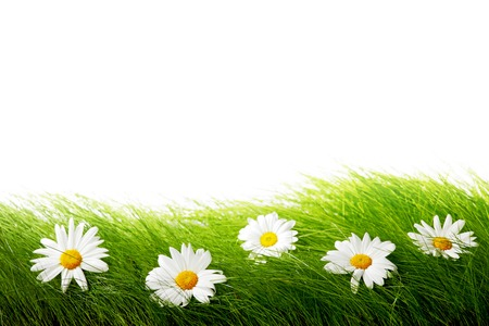 Natural daisies in grass isolated on white background Stock Photo - 26485519