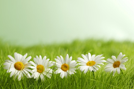 Chamomile flowers in green spring grass close-up photo