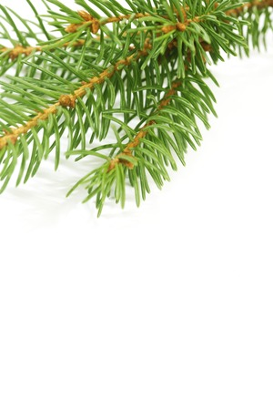 Christmas tree fir branch isolated on white background photo