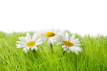 Spring chamomiles in fresh green grass isolated on white background photo