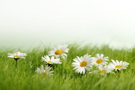 primavera: Primavera prado con margaritas en hierba aislados en fondo blanco