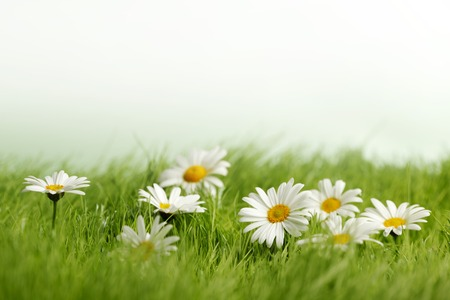 Spring meadow with daisies in grass isolated on white background Фото со стока