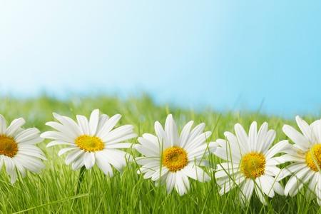 campo de flores: Manzanillas frescas hermosas en la hierba, el cielo azul en el fondo