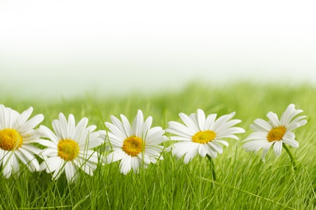 White daisy flowers in green grass isolated on white background photo