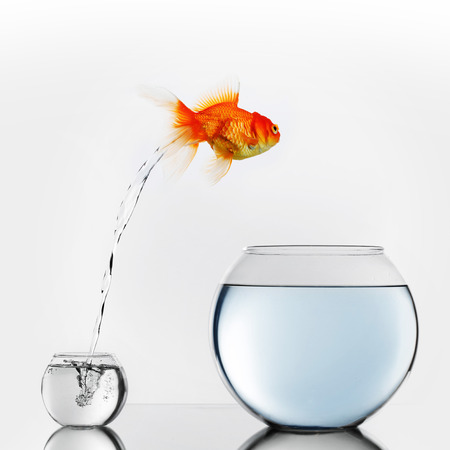 big and small: Gold fish jumping out of small to big fishbowl