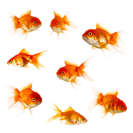 Set of Gold fish isolated on white background photo