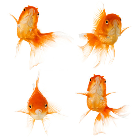 gold fish: Set of Gold fish isolated on white background