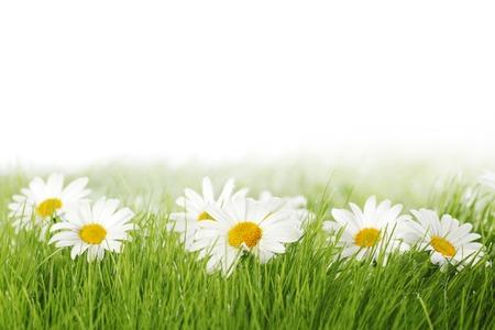 campo de flores: Primavera prado con margaritas en hierba aislados en fondo blanco