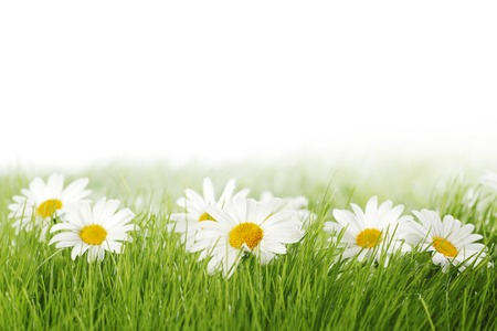 flowers field: Spring meadow with daisies in grass isolated on white background Stock Photo