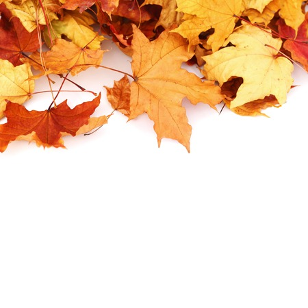 autumn colour: Colorful autumn maple leaves isolated on white background