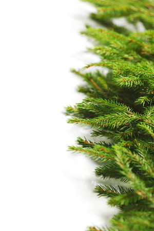 tree branch: Christmas tree branch isolated on white background