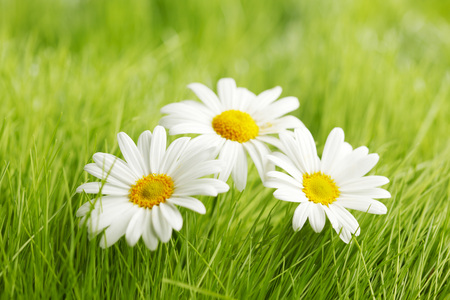 green backgrounds: Daisy flowers in grass
