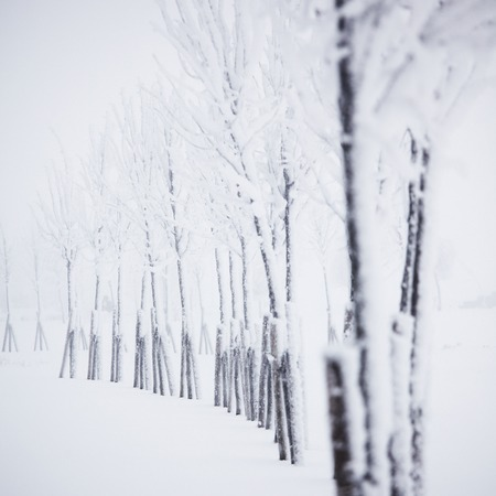 hoar: Winter forest with snow and hoar on trees