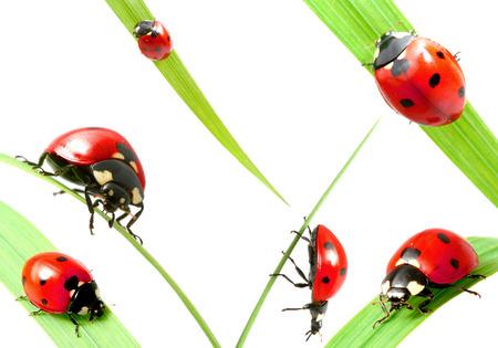 Set of ladybug on grass isolated on white background 스톡 콘텐츠