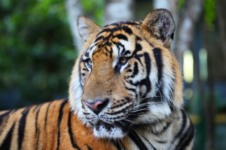 head of animal: Portrait of Asian tiger outdoors close up Stock Photo