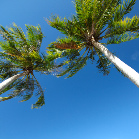ange: Palm trees low angle view on blue sky background