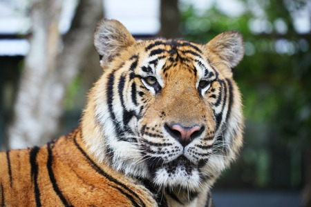 siberian tiger: Portrait of Siberian tiger outdoors close up Stock Photo