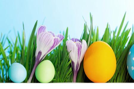 hilera: Fila de los huevos de Pascua en la fresca hierba verde con las flores del azafrán aisladas en el fondo blanco