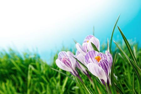 flores moradas: Flores del azafr�n en la hierba fresca de primavera bajo el cielo azul Foto de archivo